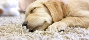 Northville Michigan Carpet Cleaning Pet Stains